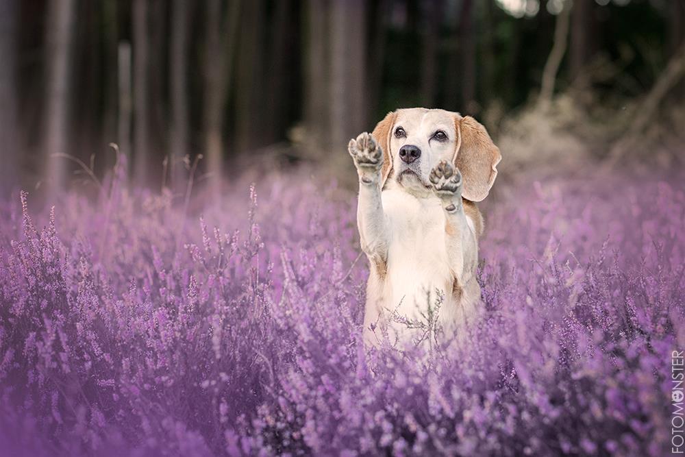 Hund Beagle Heide Männchen