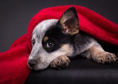 Australian-Cattle-Dog-Hundefotografie-Studio