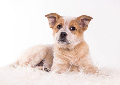 Australian-Cattle-Dog-Welpe-Hundefotoshooting-weiss