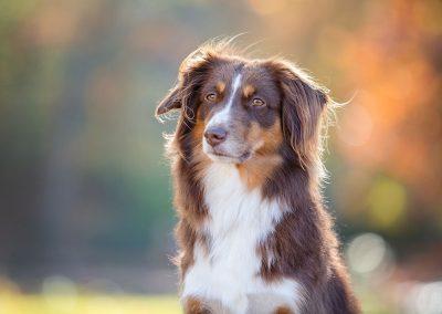Australian-Shepherd-Hund-Portrait