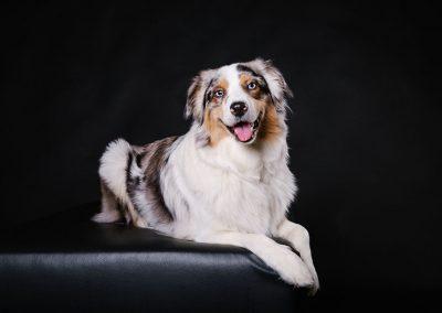 Australian-Shepherd-Hund-Studio-Fotografie-schwarz