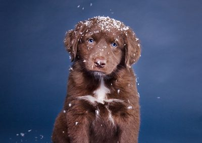 Australian-Shepherd-Hund-Studio-blau-Schnee