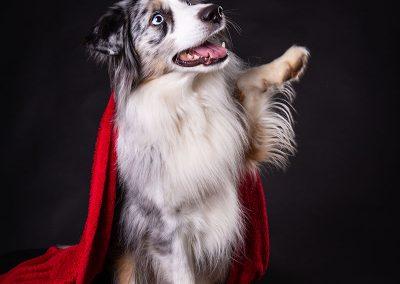 Australian-Shepherd-Hund-rote-Decke