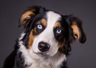 Australian-Shepherd-Portrait-Hundefotograf-Bayern