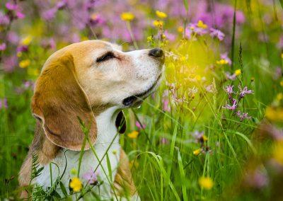 Beagle-Hund-Blumenwiese