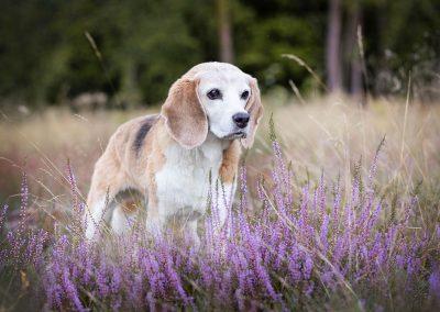 Beagle-Hund-Heide-Senior-Fotoshooting