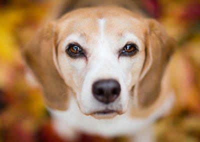 Beagle-Hund-Hundeblick-Herbst