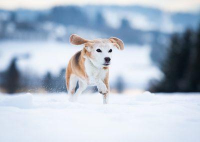 Beagle-Hund-Schnee-Action-rennend