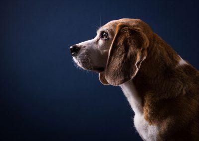Beagle-Hund-Studio-blau
