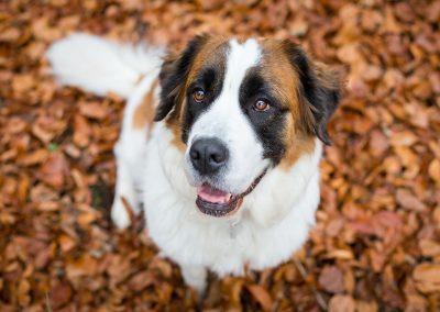 Berner-Sennenhund-Hund-von-oben