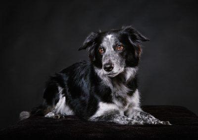 Border-Collie-Hund-Hundefotografie-Studio-schwarz