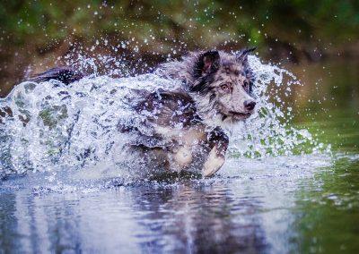 Border-Collie-Hund-Wasser-Action-rennend