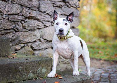 Bullterrier-Hund-Fotoshooting-stehend