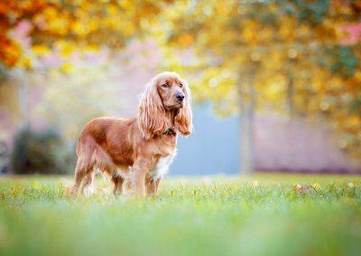 Cocker-Spaniel-Hund-Herbst-stehend