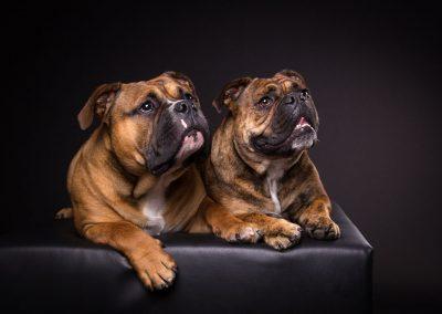 Continental-Bulldogge-Hunde-Studio-schwarz