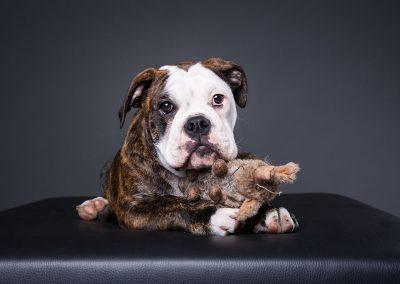 Continental-Bulldogge-Welpe-Hundefotoshooting
