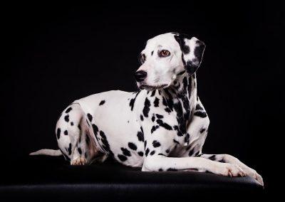 Dalmatiner-Fotostudio-Fotoshooting-schwarz