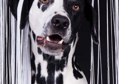Dalmatiner-Hund-Studio-schwarz