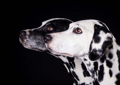 Dalmatiner-Hunde-Fotostudio-schwarz