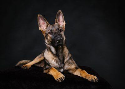Deutscher-Schaeferhund-Welpe-Hundefotografie-Tierfotografie