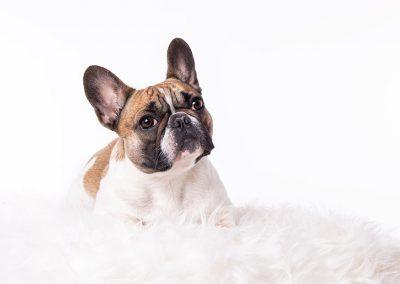 Franzoesische-Bulldoge-Fotoshooting-Studio-weiss