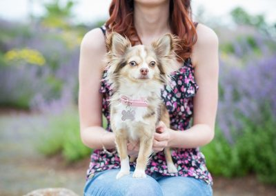 Hund-Chihuahua-auf-dem-Schoss