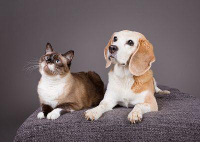 Hund-Katze-Beagle-Siam-Fotoshooting-grau