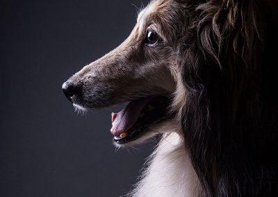 Hund-Sheltie-Fotografie