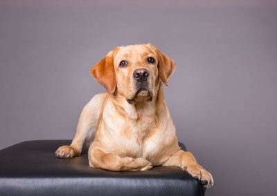 Labrador-Hund-Hundefotografie-Studio-grau