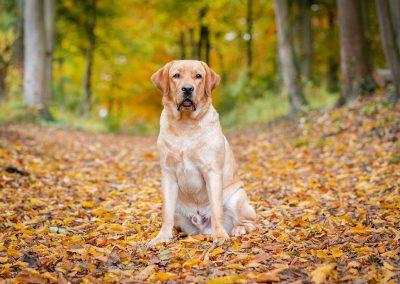 Labrador-Retriever-Hund-Herbst