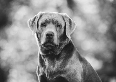 Labrador-Retriever-Hund-Portrait-Fotshooting