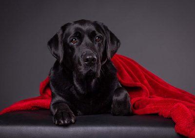 Labrador-Tierfotograf-Studio-Hessen