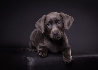 Labrador-blau-Hund-Welpe-Studio