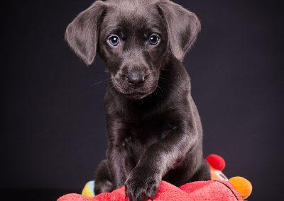 Labrador-blau-Hund-Welpe-Studio-schwarz