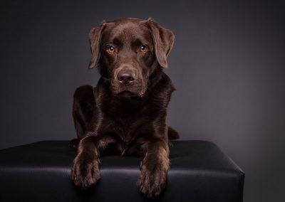 Labrador-braun-Tierfotografie-Studio-Alzenau