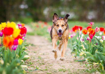 Mischling-Hund-Tulpen-rennend