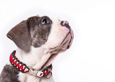Old-English-Bulldog-Hund-Studio-weiss