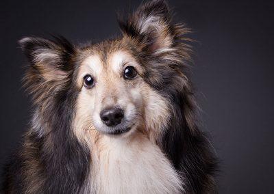 Sheltie-Hund-Portrait-Hundefotograf
