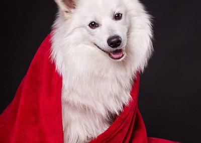 Spitz-Hund-Fotoshooting-Decke-schwarz