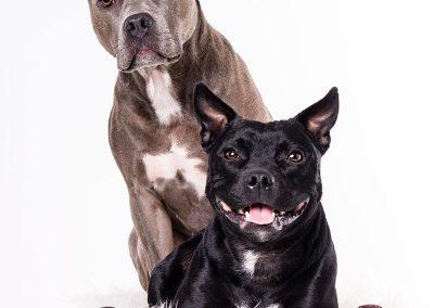 Stafffordshire-Terrier-Hund-Studio-Weihnachten-weiss