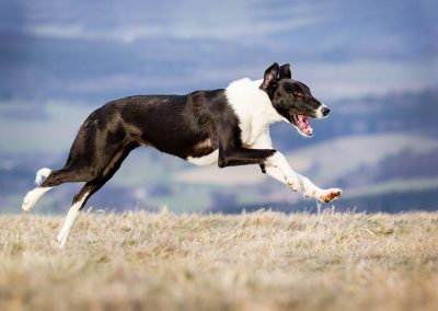 Windhund-Hund-rennend